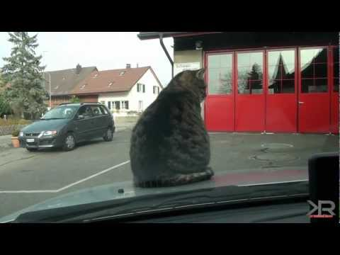 Cat rides on hood of Car