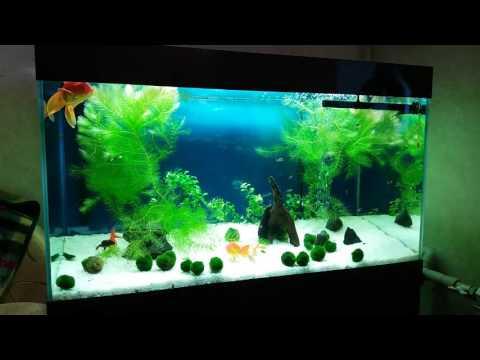 Goldfish tank. Аквариум с золотыми рыбками.