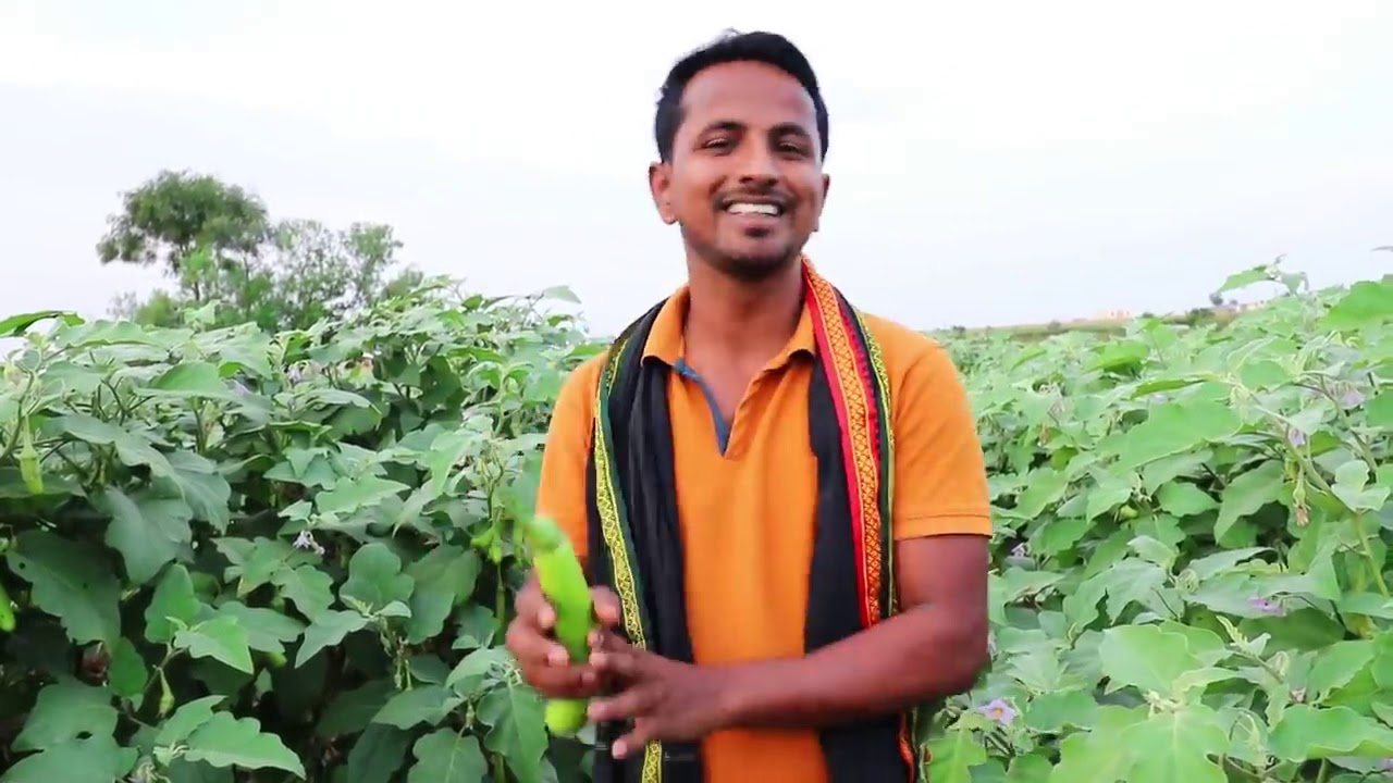 मालामाल बैंगन🍆🍆Profit, Marketing, Variety, Harvesting   Brinjal   Eggplant Farming A to Z