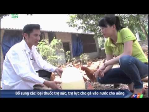Kỹ thuật nuôi gà thả vườn hình thức bán chăn thả