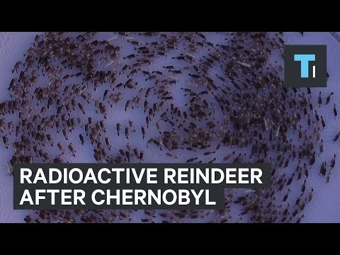 Radioactive reindeer after Chernobyl