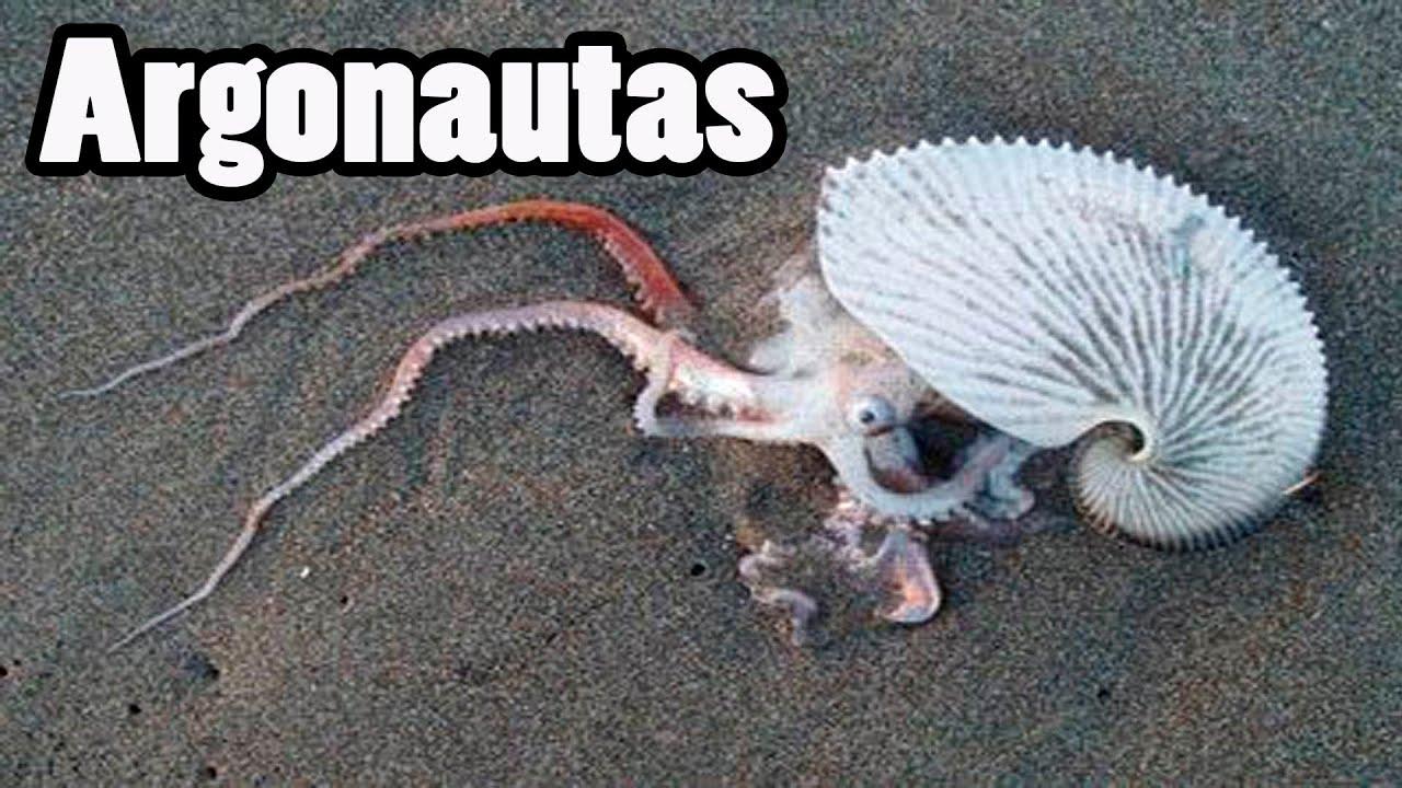 Los Argonautas, Los Pulpos más raros del mundo