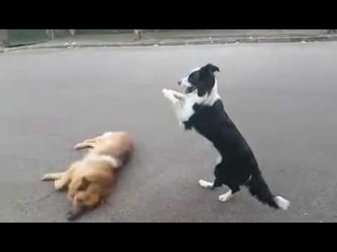 Dog Jumps over Other Pets