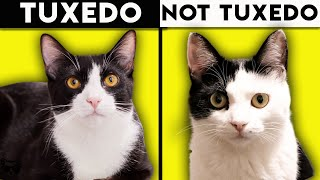 Tuxedo Cat 101  Everything You Need To Know About Tuxedo Cats