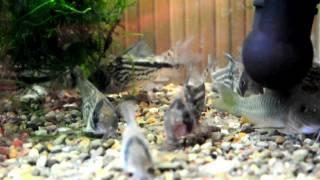 "Corydoras loxozonus ""C 82"" &.axelrodi&melanotaenia"
