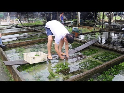 AMAZING AQUATIC PLANT FARM in Singapore - Capricorn Aquarium