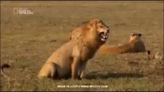 sư tử cười hài