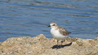 Curs d'identificació d'aus. 5 - Limícoles