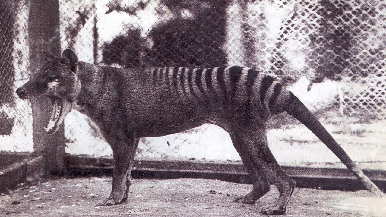 Tasmanischer Wolf