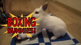 Bada$$ Boxing Bunnies: These fighting pet house bunnies could kick your butt :)