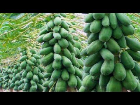 the-success-story-of-papaya-farming