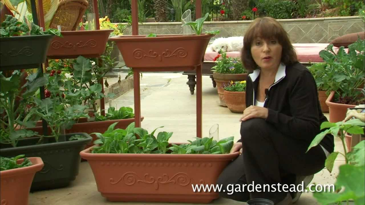 Growing Bok Choy In Containers From Gardenstead Youtube