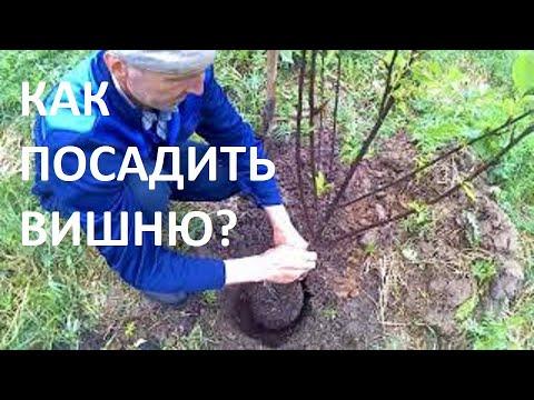 Как правильно посадить дерево вишни