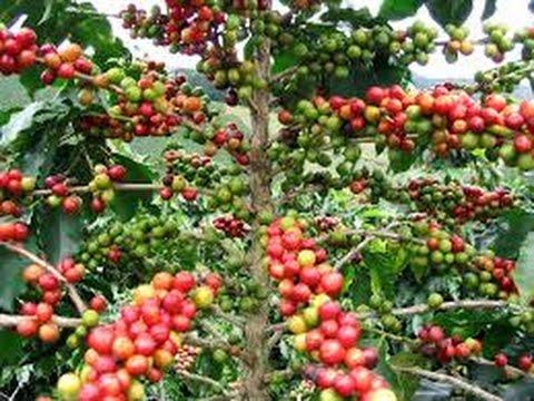 Requerimientos nutricionales y fertilización del cultivo de café - TvAgro Juan Gonzalo Angel