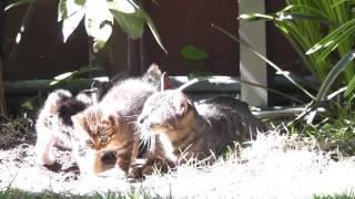 尻尾で、よるしま子猫を遊ばせていた母猫、いたずら盛りのまっくろしま...