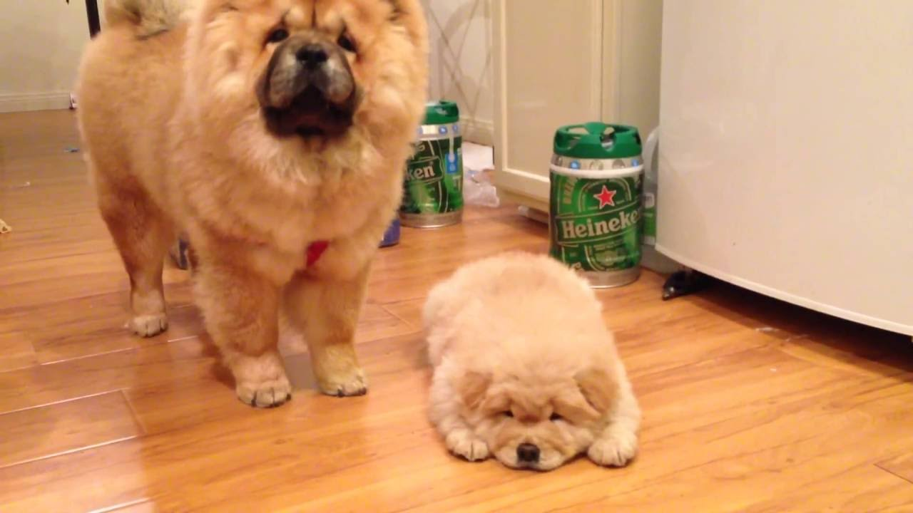 Chow Chow Puppies First Time See Each Other Youtube