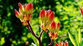 12 апр 2017. Вересковые культуры традиционно ассоциируются только с великолепными садовыми ландшафтами, а как комнатные растения.