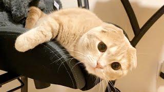 短足猫がまんまるな目で見つめてきて可愛すぎるw