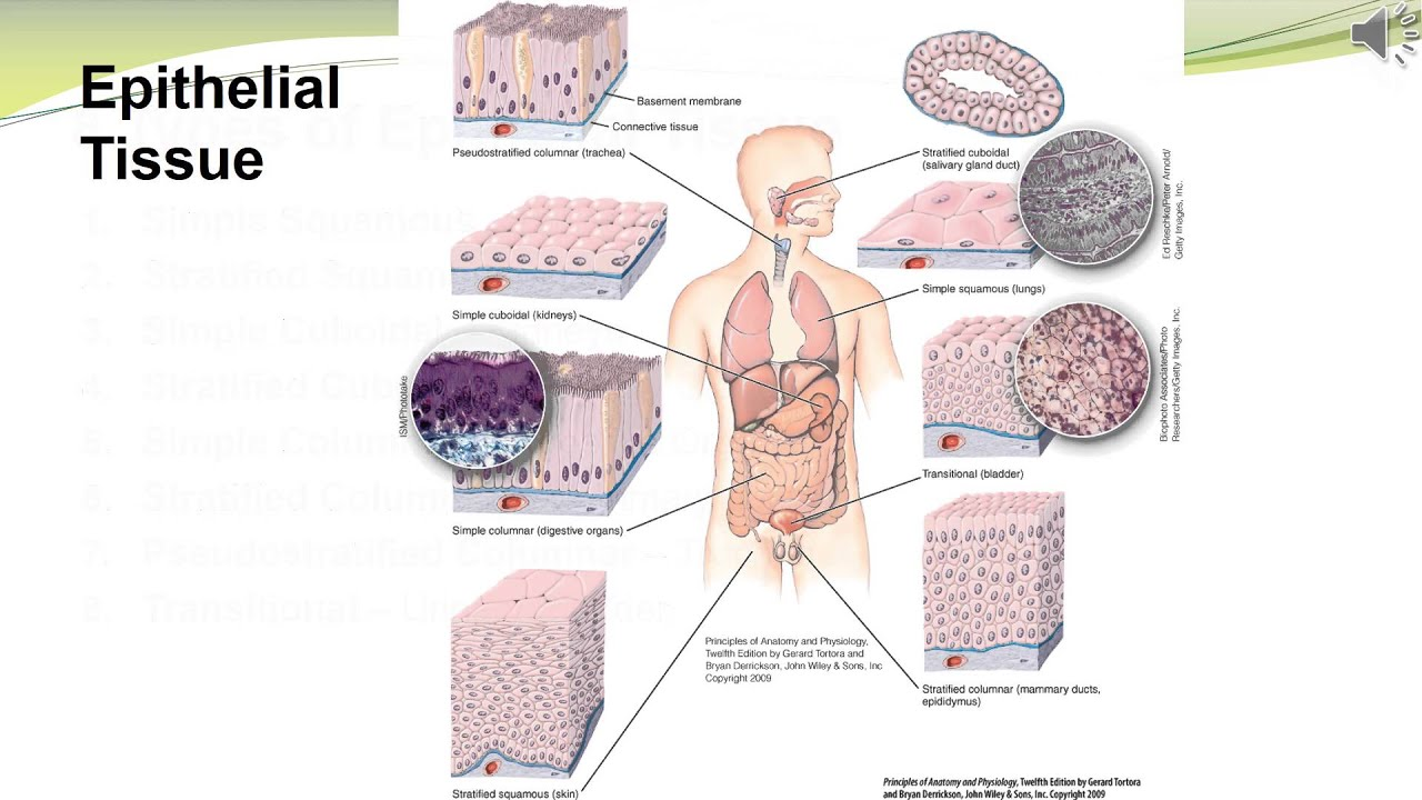 Diagram Of Tissues In The Human Body - Wiring Diagram Services •