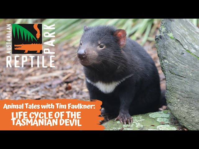 ANIMAL TALES WITH TIM FAULKNER | EPISODE 27 | LIFE CYCLE OF THE TASMANIAN DEVIL