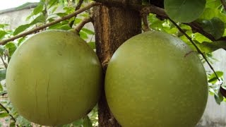 Mẹo Vặt Cuộc Sống - Cây đào tiên đúng là loại trái tiên