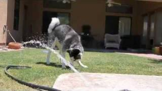 Siberian Huskies Attack