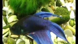 Аквариум - Аквариумные рыбки - Петушок(Петушок или бойцовая рыбка (сиамский петушок), как его привыкли называть в русском языке за его нрав - одна..., 2010-12-25T20:01:36.000Z)