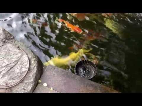 yourkoishouse #3 ปลาคาร์ฟ, อุปกรณ์เลี้ยงปลา surface skimmer