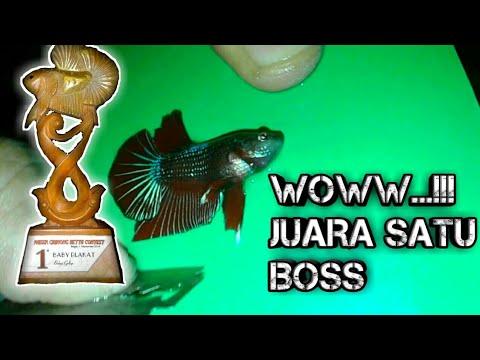 Cara Salon Ikan Cupang Bagi Sang Juara Hmpk Sni Youtube