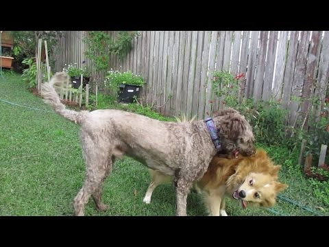 Ollie (Labradoodle) and Pablo ... rumble in the jungle