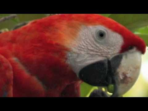 Scarlet Macaws by The Rainforest Rangers