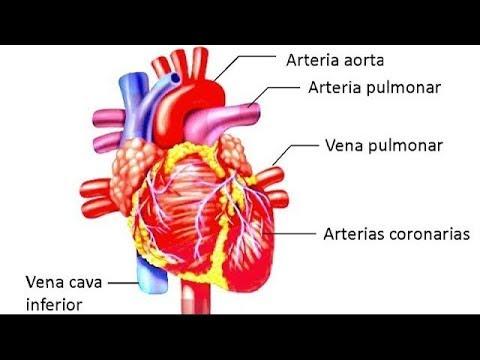 Sistema Cardiovascular o Circulatorio Biología Preuniversitaria ...