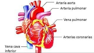 Cardiovascular del sistema partes específicas