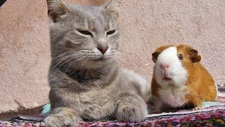 Смешные кошки :)  Часть 221 - Котэ vs морские свинки:))