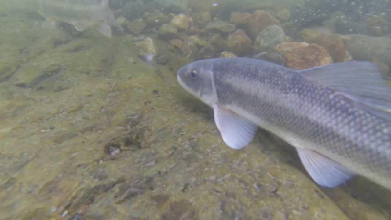 Catching Sucker Fish by Hand - YouTube   Sucker Fish