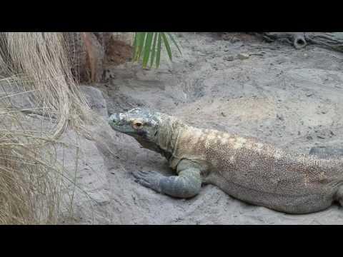 Komodo dragon opens mouth