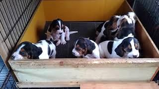 四国プリンス犬舎は、絶滅寸前の純血サツマビーグルの保存普及に取り組...