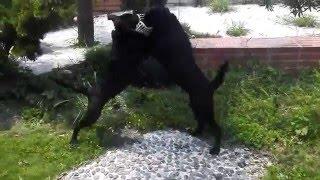 正原始土狗,聰明,兇猛,護衛犬。 以狗會友09-38323675.