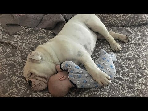 Funny English Bulldog playing with babies | Dog loves Baby Compilation