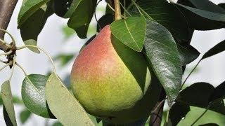 видео Своевременная защита плодовых деревьев