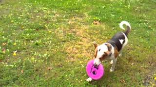 Cattle Dog Learns To Catch Frisbee