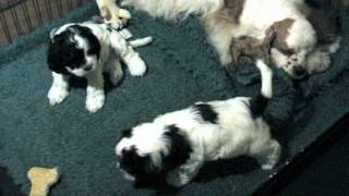 Amerikaanse Cocker Spaniel Pups 5 Weken Oud