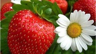 Выращивание клубники дома Part 3(Выращивание клубники дома Part 3! Ура наконец мои ягоды начали созревать. На мой взгляд рост ягод был долгим,..., 2015-03-08T10:38:44.000Z)