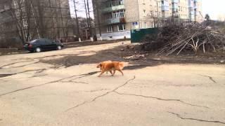 Агрессивная собака в районе улиц Софийская, Пархинская, Карла Либкнехта(Эта собака неоднократно кусала прохожих. Живет на улице, часто лежит на коврике у входа в похоронку на Софий..., 2015-04-08T17:55:59.000Z)
