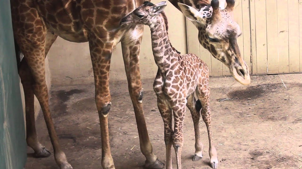 It's a little guy! Santa Barbara Zoo's newborn giraffe now has a name ...