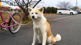 秋田犬のきららです(*^_^*) 只今この仔犬の予約販売を受け付けておりま...