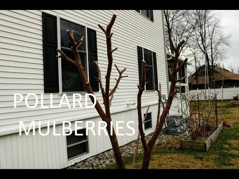 Pollarding The Mulberry Tree Keep It Small Youtube