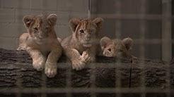 Alleinerziehender Löwenpapa