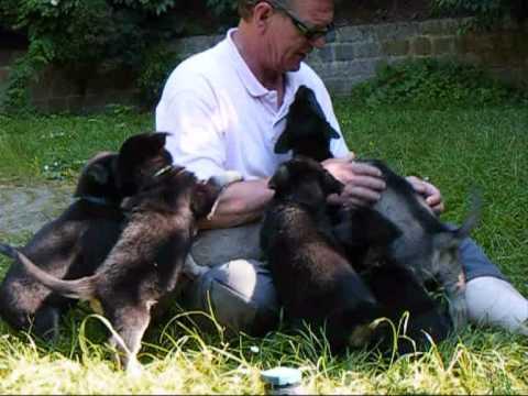 zwarte herder kruising pups / puppies - YouTube: http://www.youtube.com/watch?v=fp0C6e-jzI8