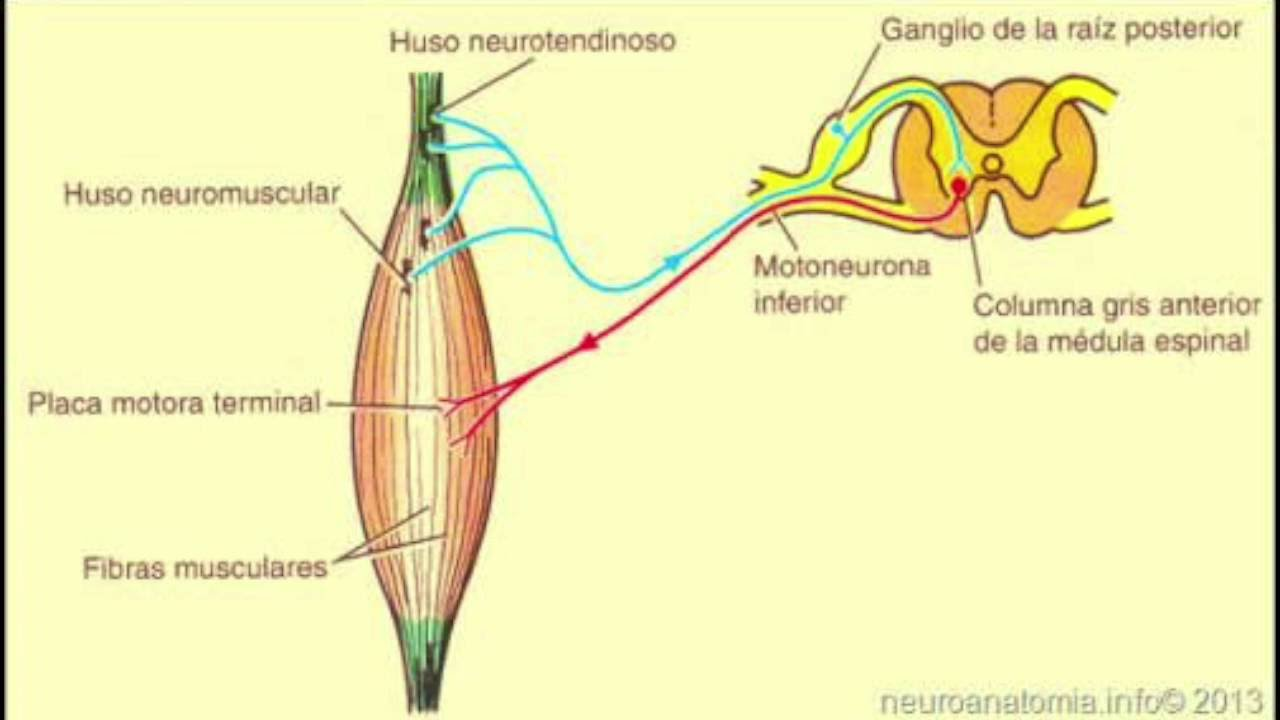Huso neuromuscular - YouTube